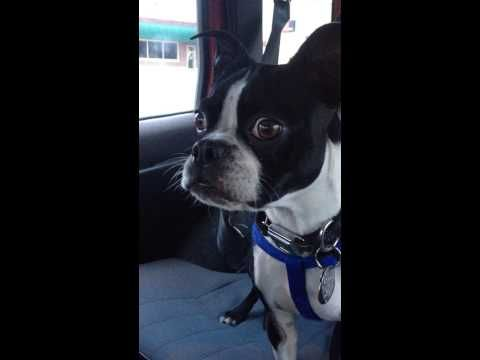 The Whole World Is Blown Away By the Sounds This Dog Makes When He Sees Another Dog!