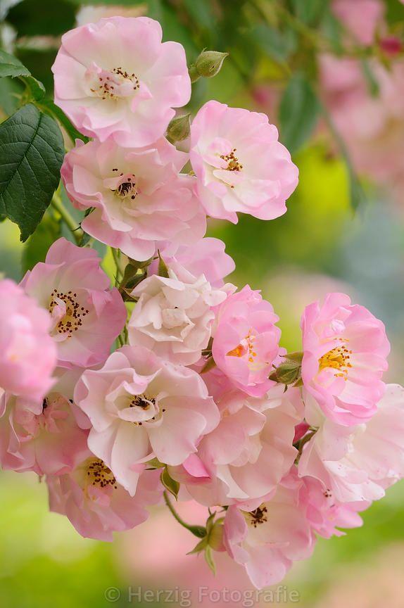 """Rosa """"Blush Rambler"""" - Rose"""