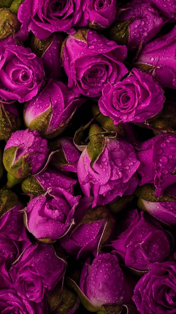 Dark Pink Roses Flower Wallpaper Beautiful Roses Flower Art