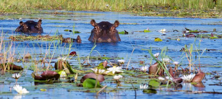 Okavango Delta Hippos  Ngwesi Houseboat on the Delta #okavangodelta #safari #houseboat #africa #botswana #travel #wildlife #gameviewing #destination #tigerfishing #hippos