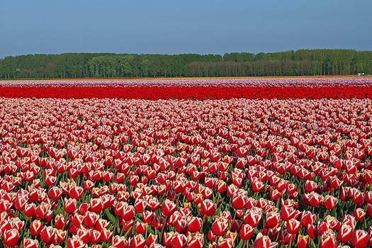 Tulips in Holland, The Netherlands. In  April and May, the fields resemble a colourful patchwork.