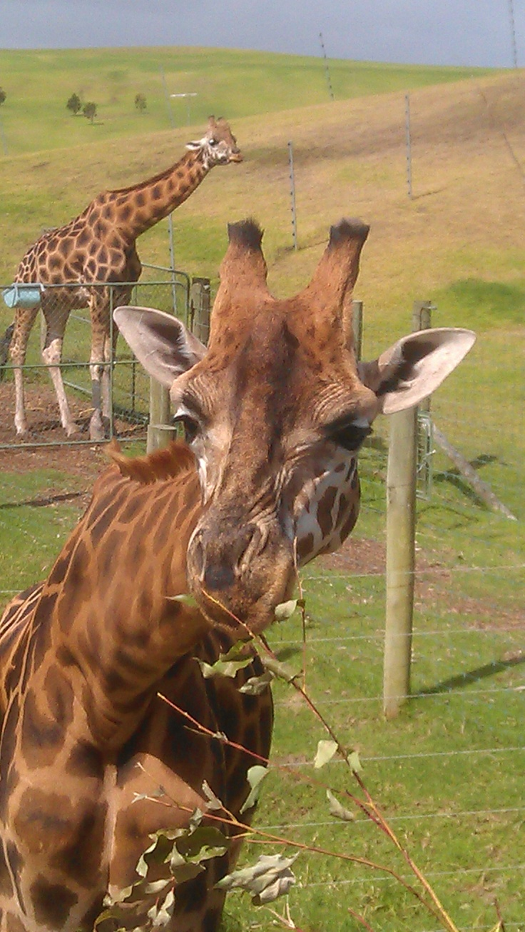 I had no idea Alan Gibbs had such a vast collection of animals.  These giraffes were very curious.  http://www.matakanacountry.co.nz/home/home/ #Matakana #New Zealand #travel #animals