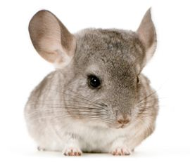 Chinchilla.... My daddy raised these as a hobby! Fur is so very soft!
