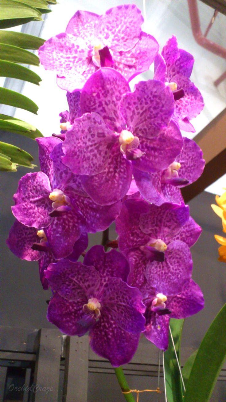 Asco Somsri Blue Classic x Vanda Dr Anek   Orchids ...