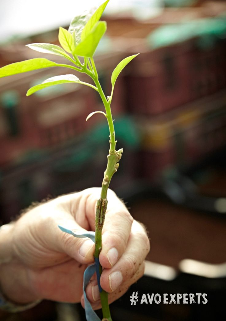 Westfalia is world-renowned for the quality of rootstock avocado trees that their nursery produces.