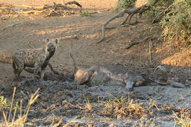 buffalo-stuck-in-mud-and-hyena