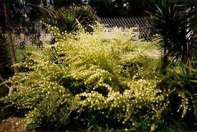 Grevillea paniculata