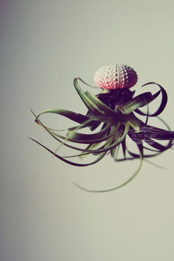 Five Jellyfish Air Plants // Sea Urchins Hanging by PetitBeast