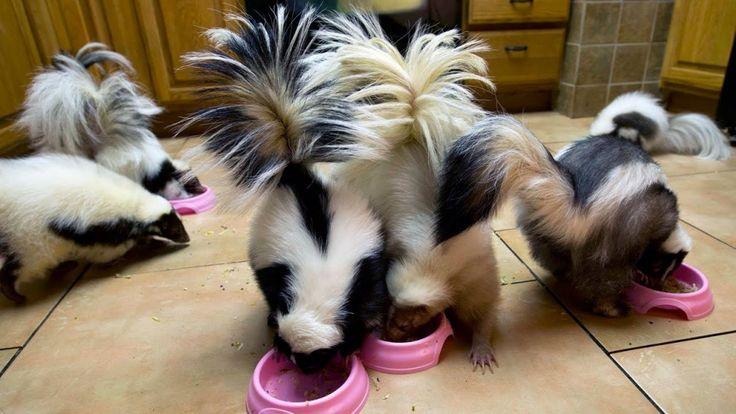 Pet skunks feeding