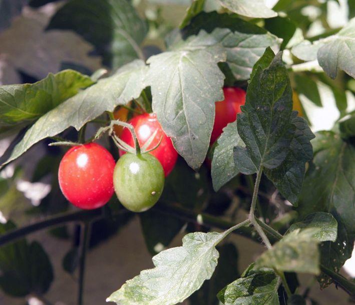 Pflege ist auch im Spätsommer für Tomaten nötig. Lest die Gartentipps, was noch zu tun ist, damit die Tomaten noch vor dem Winter reif werden. https://freudengarten.de/show/159