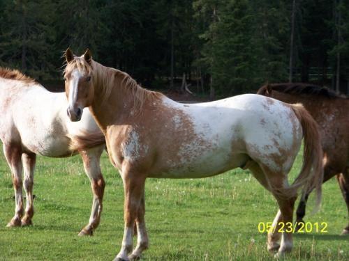 Galloping Starwonder, Appaloosa Gelding in Michigan | Appaloosa Horses for Sale