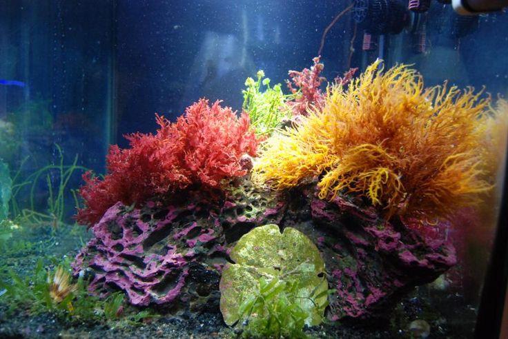Coral Reef Aquarium - Members Reefs - dputt88s 30 gal Macro Aglae Cube