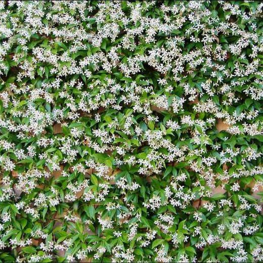 Chinese Ivy, Chinese Jasmine, Star Jasmine, Confederate Jasmine, Jasmin Rhynchospermum, Jasmin Rhyncospermum