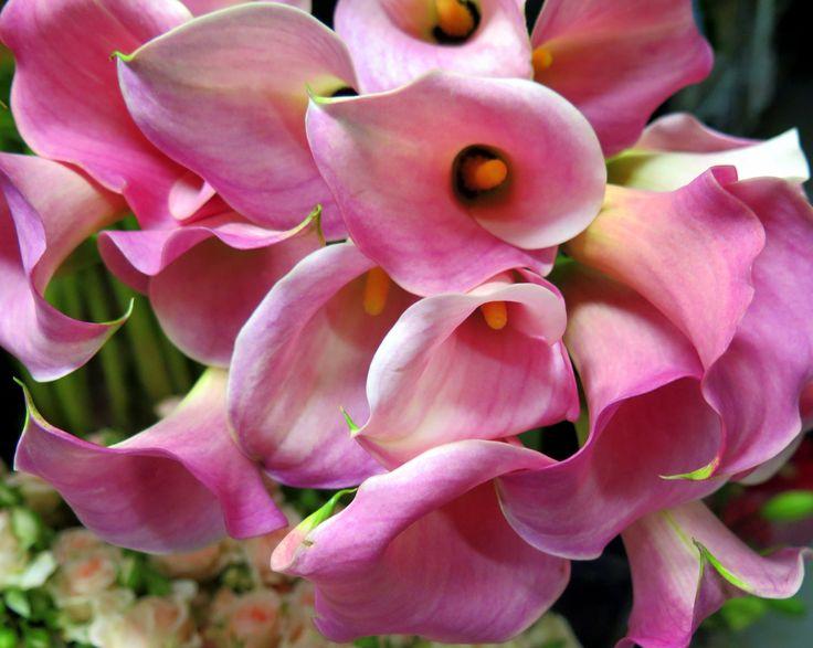 Alluring pink calla