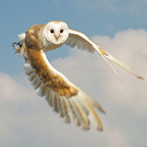 Barn owl in flight (day)   http://www.flickr.com/photos/nicebiscuit/433962757/in/set-72157602302898962/