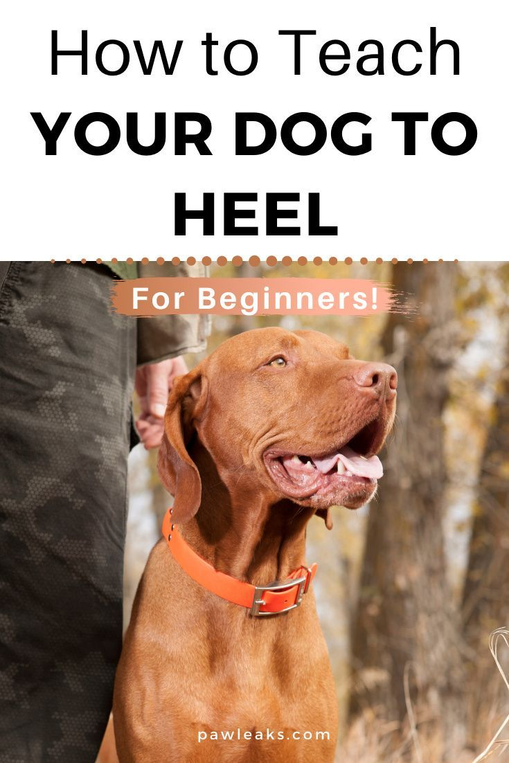 How to teach your dog to heel dogs your dog puppy