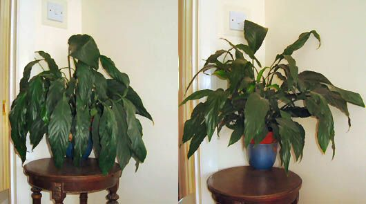 Two pictures of the same Peace Lily, picture on left shows it needs water, the picture on the right has enough water