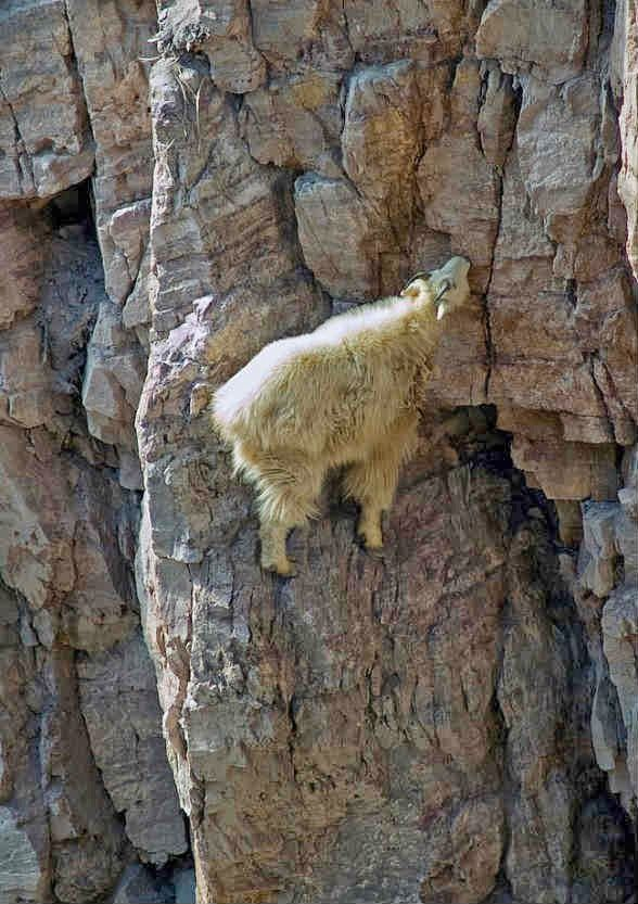 Really High Goat 1323 best images about...