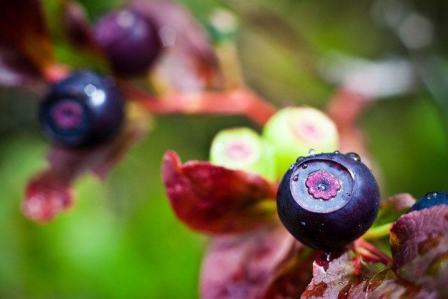 Huckleberry picking is a great childhood memory of mine.