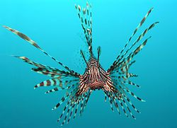 Head-on view of a red lionfish