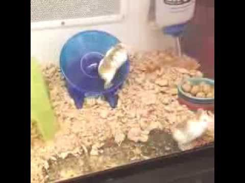 """""""We just caught this team of hamsters at a pet store working out like their lives depended on it!"""" from @FitnessBlender.com"""