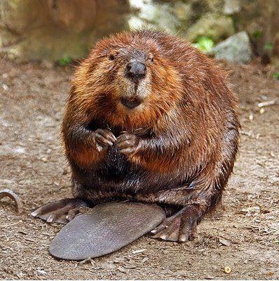 A beaver!!