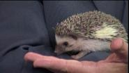 USDA Licensed Hedgehog Breeder Christie Riddle tells us all about these adorable alternatives for pet owners.