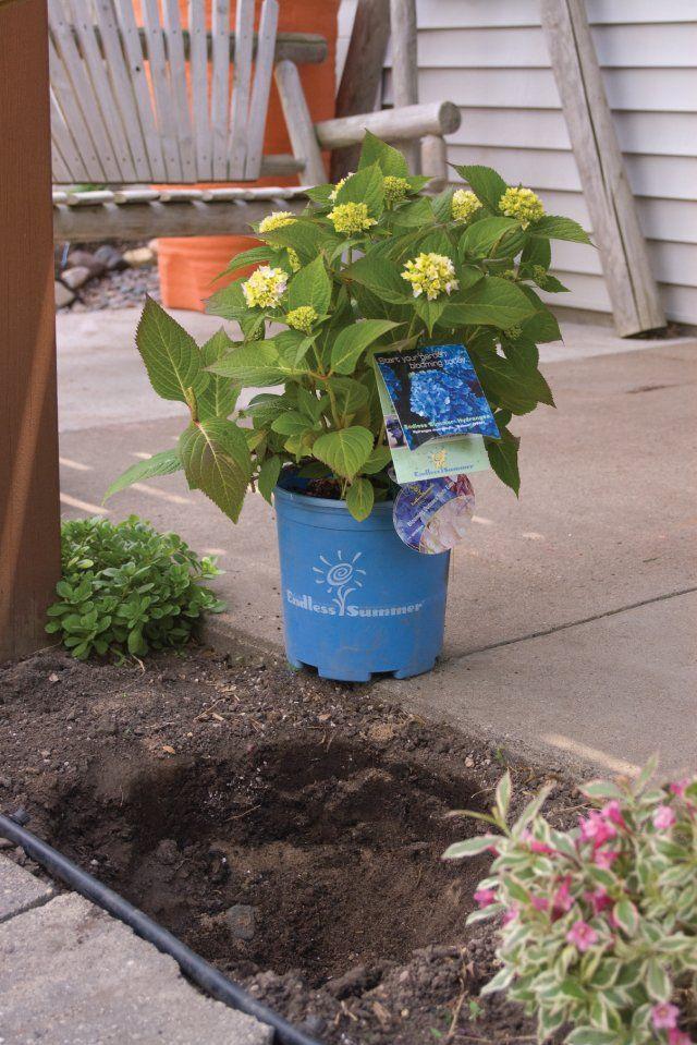 Best 25 endless summer hydrangea ideas on pinterest how to plant hydrangea hydrangea care - Care potted hydrangea ...