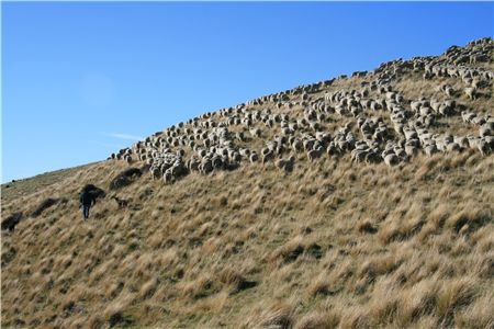 Sheep on tussock in New Zealand