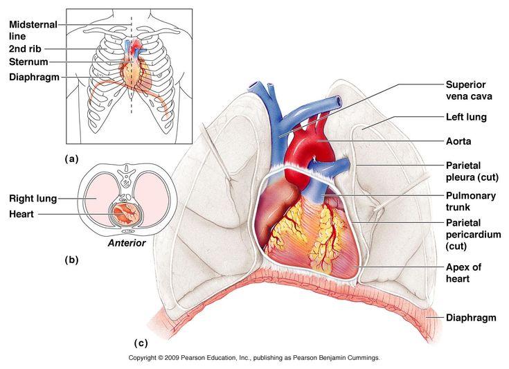 hart anatomie - Google zoeken