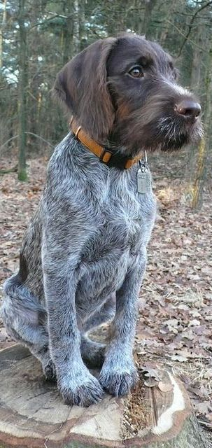 17 Best images about Dogs on Pinterest | Poodles, Sheds ...