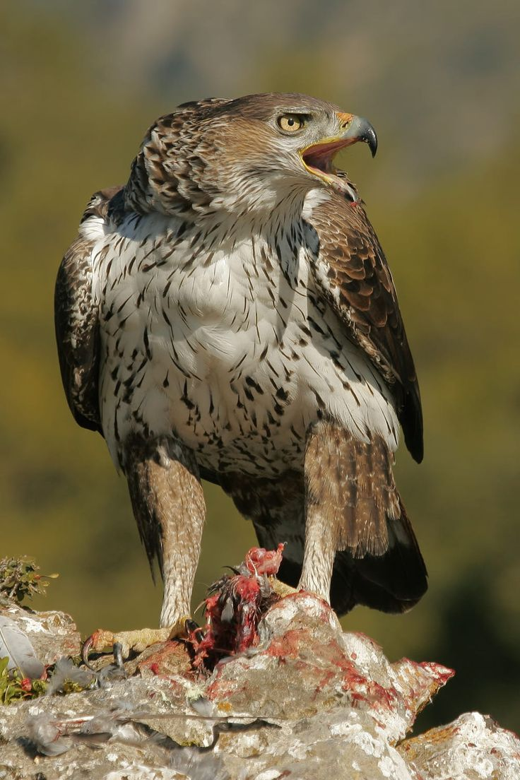 Bonelli's Eagle (Aquila fasciata) - breeds in southern Europe, Africa both north and south of the Sahara Desert, and across the Middle East and south Asia to Indonesia.