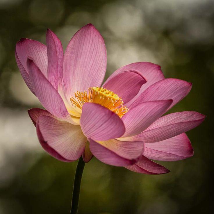 Lotus #1: Photo by Photographer Adrienne Garden