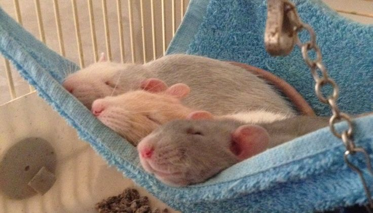 Our little rat family :) sweet