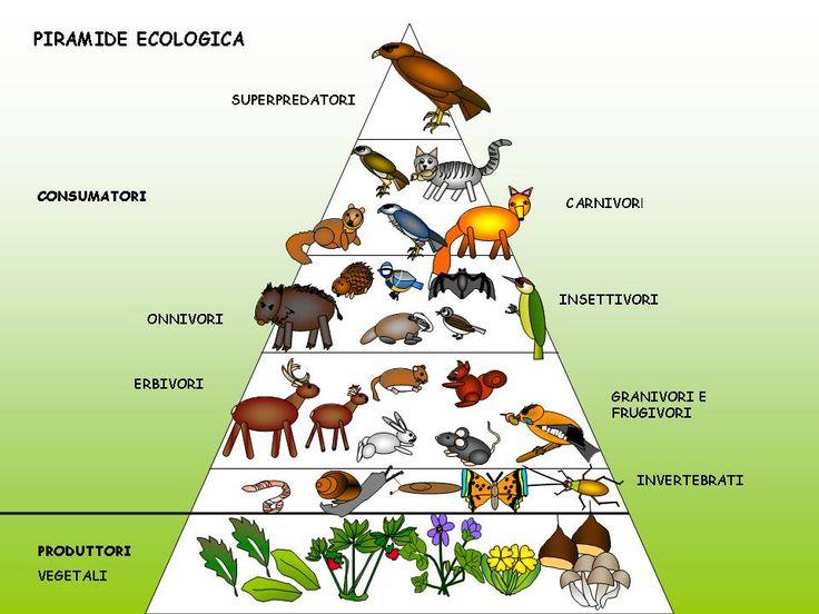 Piramide Trofica Cerca Con Food Chain