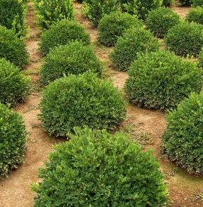 Buxus x 'Green Velvet', nine: Landscape Plants, Buxus Green Velvet, Blenham Landscape, Landscape Supplies, Velvet Boxwood, Driveways, Landscape Front, Gardens Plants, Front Row