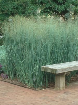Panicum 'Heavy metal'. This grass could be block planted with Veronicastrums (white and purple).