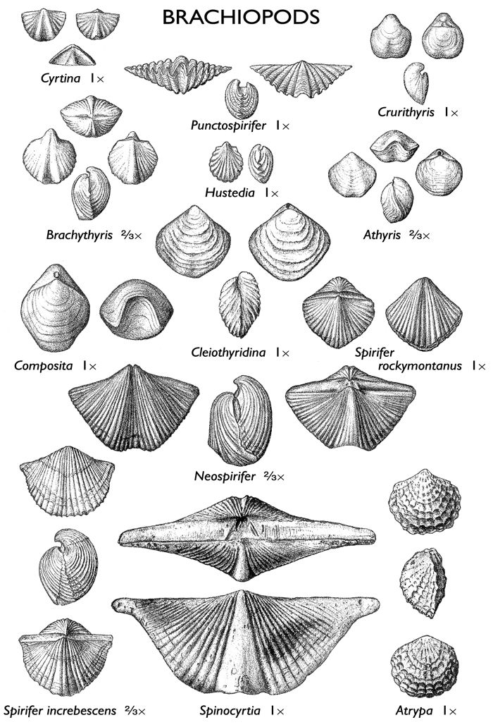 Brachiopods are marine animals with two shells, an upper one and a lower one.