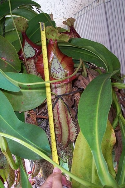 """""""picther plant"""" Nepenthes Miranda"""