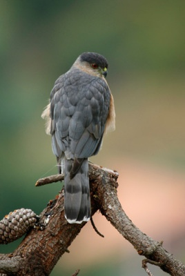 We have these in our neighborhood here in WA! Cooper's Hawk -- August 6, 2014; Kearns, Utah