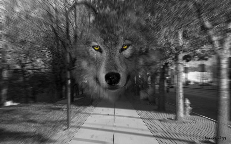 black and white photos of wolves | Black And White Photography Wolf Dreamcatcher urban wolf black