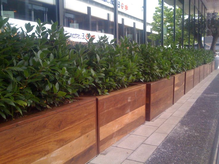 Bay trees planted to create hedge in wooden planters