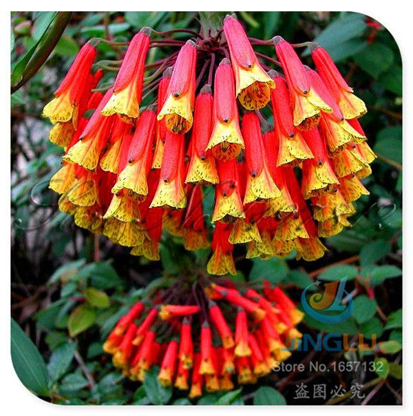 10 fresh seeds , extremely rare flower seeds, Bomarea caldasii, Peruvian Lily Vine, hummingbirds , garden balcony potted plant