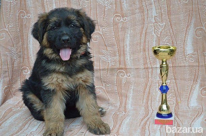 Продаются шикарные щенки немецкой овчарки - Собаки Бердянск на Bazar.ua