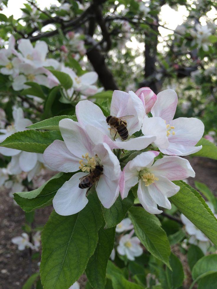 Elma çiçeği ve Bal arısı
