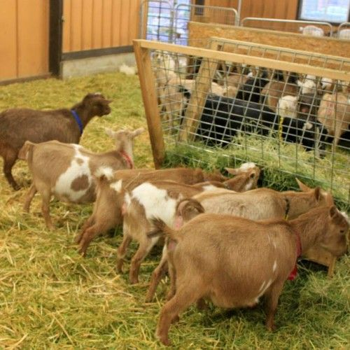 778 Best Goat Farm Images On Pinterest: 160 Best Images About Farm - Goats On Pinterest