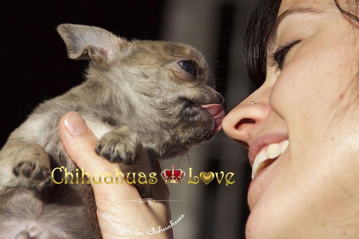 http://chihuahuas-love.com/cachorros-en-venta