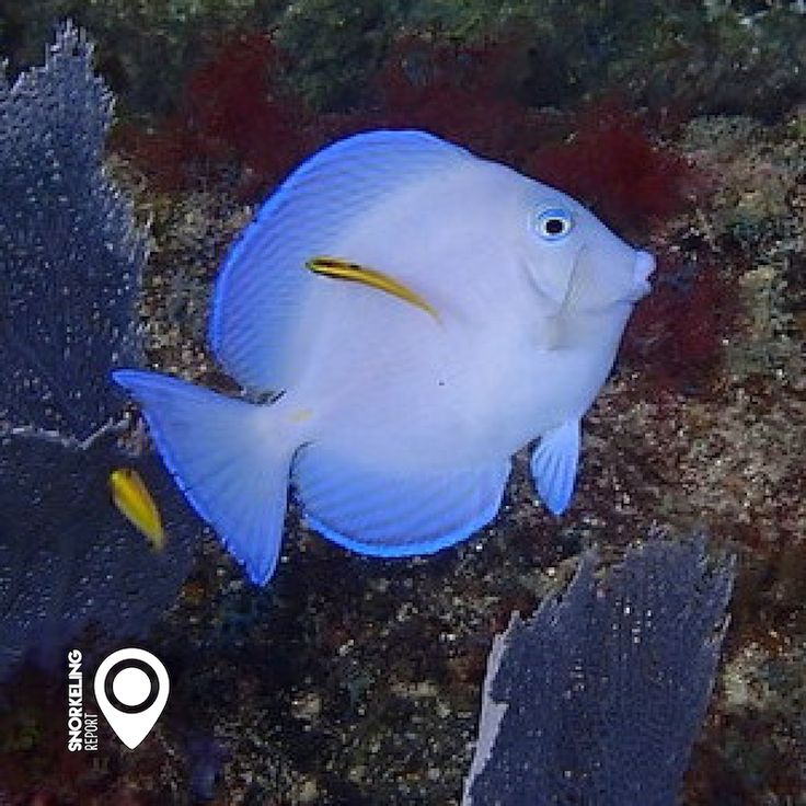 Blue tang at Fort Lauderdale, Florida #snorkeling #snorkelingtime #underwaterphotography #underthesea #underthesurface #fish #freedive #diving #snorkeler #coralreef #florida #usa #miami #fortlauderdale #fortlauderdalebeach #snorkelingflorida #keys #bluetang #snorkelingislife