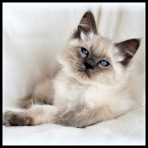 I SOOOOO very much want a Balinese kitten (actually two - a chocolate point and a blue point).
