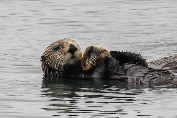 Wild Sea Otter Mother Holds Her Pup Close Sea Otter Otters Cute